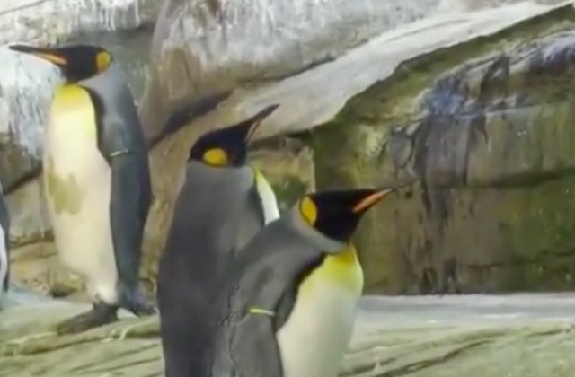 Gay Penguin Couple Adopt Egg at Berlin Zoo